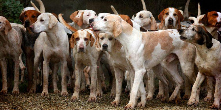 Гончие породы собак мальчики