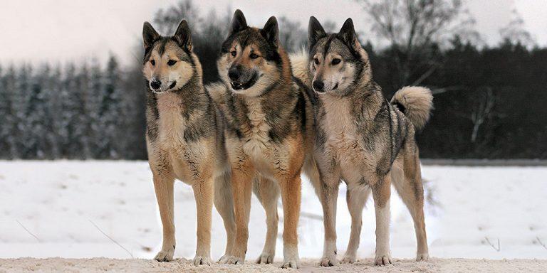 лайки породы собак мальчики