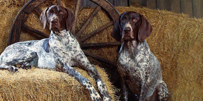 легавые породы собак мальчики