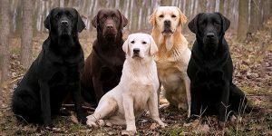 ретриверы собаки мальчики