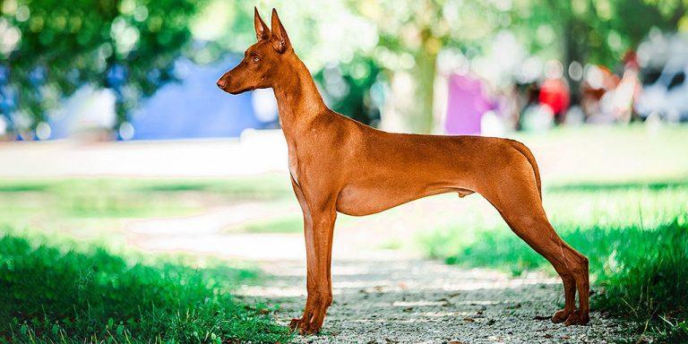 фараонова собака мальчик