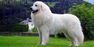 пиренейская горная собака мальчик